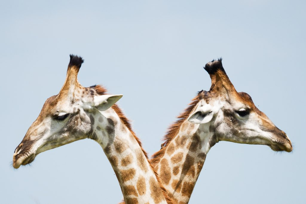 Photo of two giraffes - learn from people you disagree with by Kate Smith